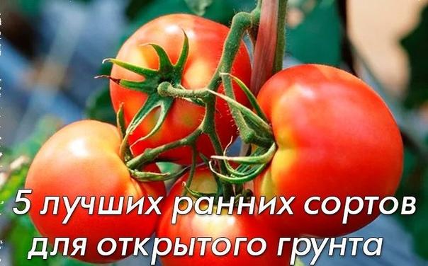 5 лучших ранних сортов томатов для открытого грунта