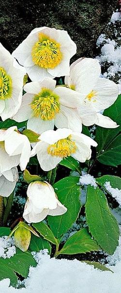 Ровно за 2 недели до рождества просыпается цветок Морозник