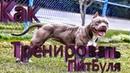 Как накачать ПитБуля/Тренировка ПитБуля/Как накачать мышцы собаке/Тренировка Бойцовской Собаки