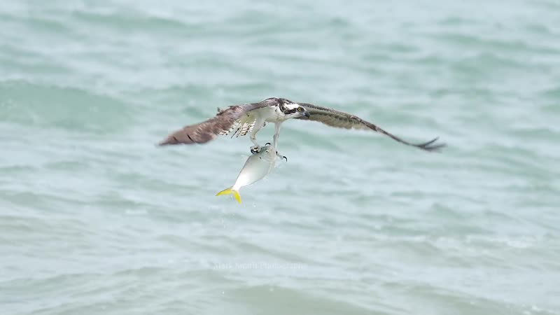 Osprey Rises With Huge Fish