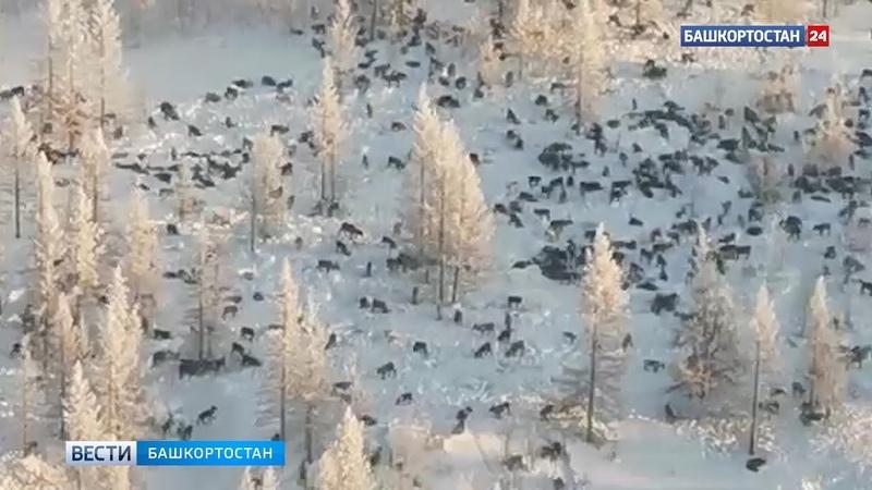 В МЧС опровергли информацию об огромной стае волков идущей в Башкирию из Казахстана