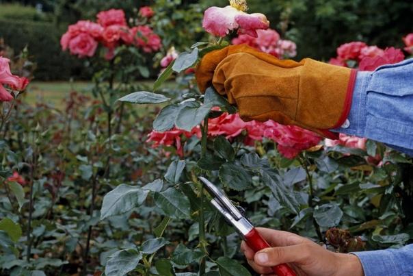 Предзимняя обрезка роз