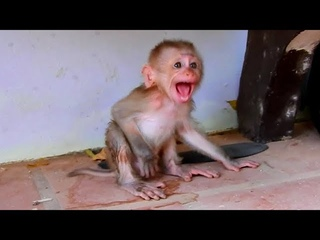 Baby Monkey Tomy Super Cry Break Throat Can't WaitingBaby Monkey Cry Super Strong Cos Milk