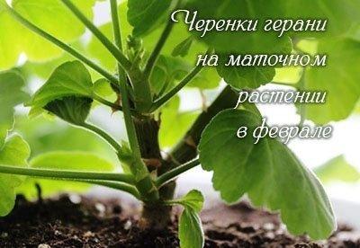КАК ДОБИТЬСЯ ПЫШНОГО ЦВЕТЕНИЯ ПЕЛАРГОНИИ (ГЕРАНИ) ОБРЕЗКА ГЕРАНИ ОСЕНЬЮ.Чтобы растение имело красивый сформированный пышный куст и обильно цвело оно должно отдыхать. Смысл осенней обрезки в