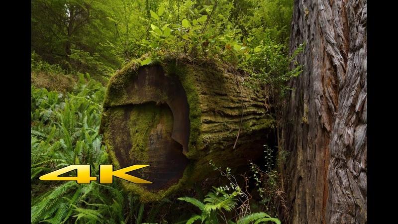 Redwood National Park 4K Virtual Hike !