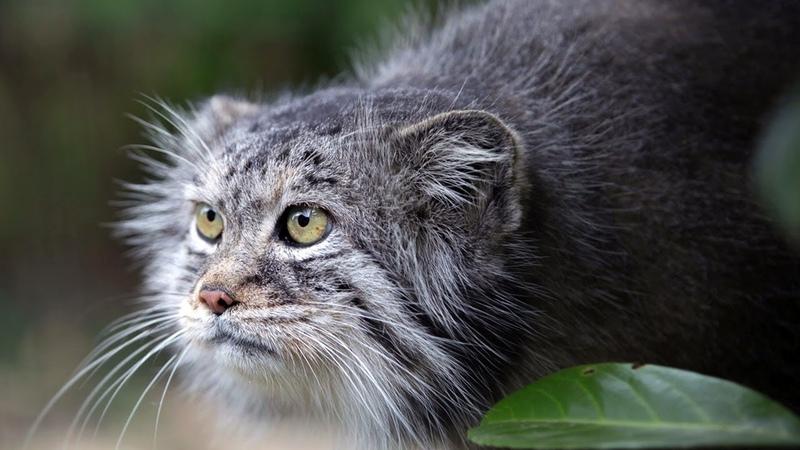 Самая СЕРДИТАЯ кошка в мире МАНУЛ интересные факты о коте одиночке