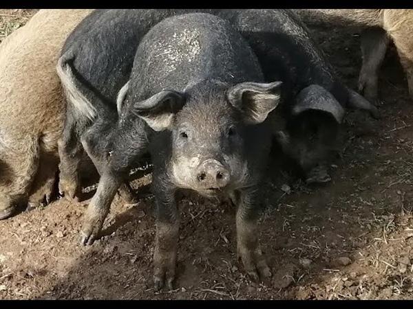 Подстилка для свиней и поросят венгерская мангалица бесплатно