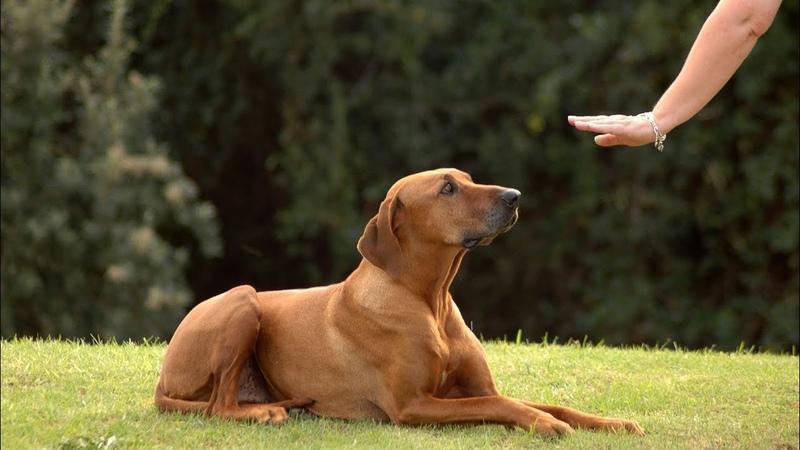 Как деликатно сказать «фу»: югорский собаковод показал процесс дрессировки