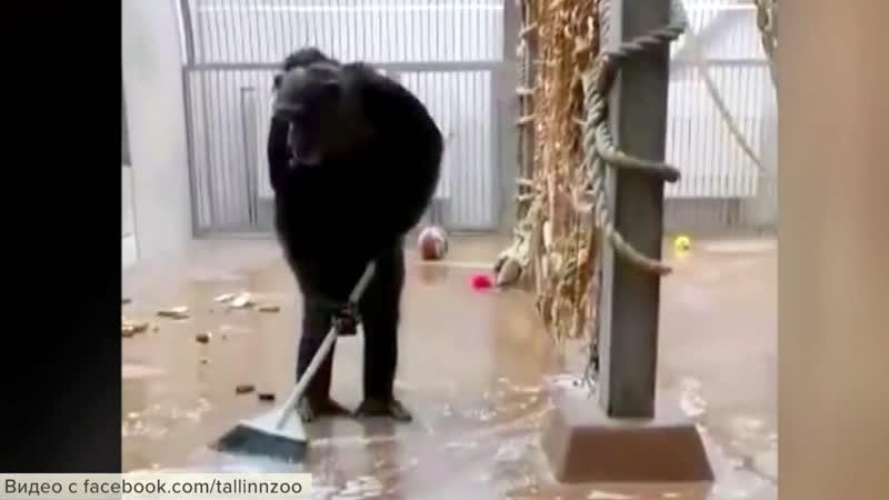 Новым героем интернета стал шимпанзе из зоопарка Таллина
