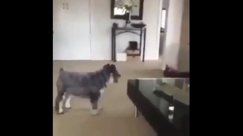 Кот показал собаке кто в доме хозяин
