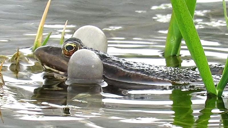 Брачное пение лягушек Frogs mating call
