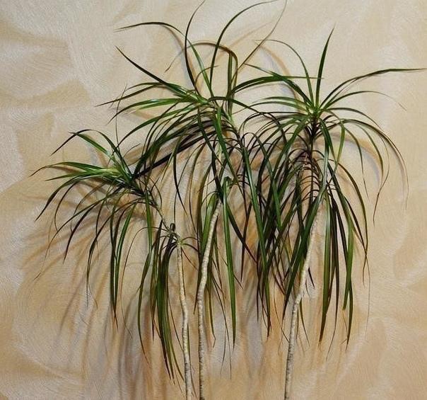 Как обновить драцену Драцены очень красивые растения, однако со временем они теряют свою декоративность: вырастают высокими и начинают искривляться. Но это оченьлегко исправить.У взрослого