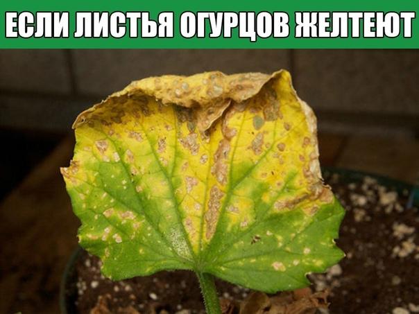 Если листья огурцов желтеют