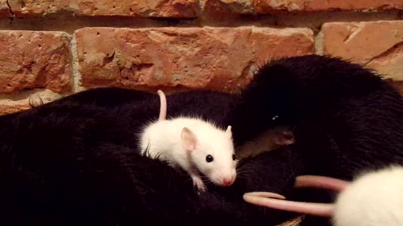 П-к Разнотварье. Декоративные крысята BEW( Black Eyed White). Литера Ф4, д.р.19.11.19г.