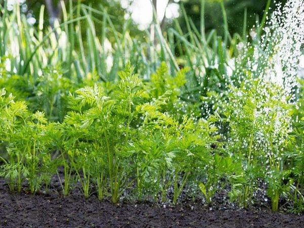 Этот полив спасет морковь от вредителей Морковь не самая привередливая культура, но для того, чтоб получить чистый и хороший урожай нужно знать, как и чем поливать посадки. Чтоб морковь не