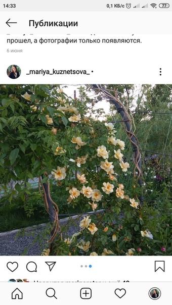 У меня вопрос, это роза или шиповник Когда сажала была удивлена, что очень много мелких колючек. На второй год зацвела. А в этом году увидела после цветения