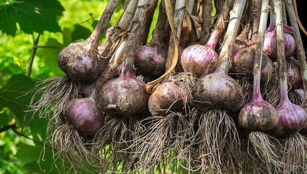 Чем подкормить чеснок для богатого урожая