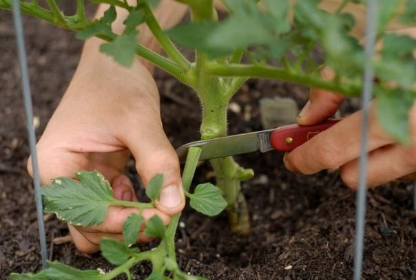Как обрывать листья у томатов (помидор) и почему это нужно обязательно делать
