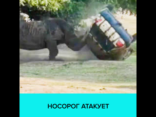 Носорог напал на машину в Германии  Москва 24