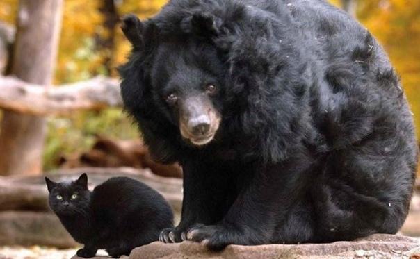 ЗИМНЯЯ СПЯЧКА Именно в неё и впадают бурые медведи. Обычно отдельно, по одному. Но бывают и исключения. Так оно и было в этот раз. Бурый медведь нашел себе медведицу и на этом его свободная,