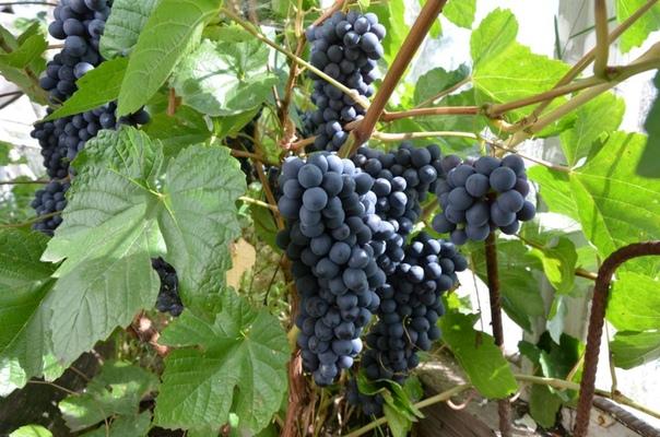 5 способов укрытия винограда на зиму
