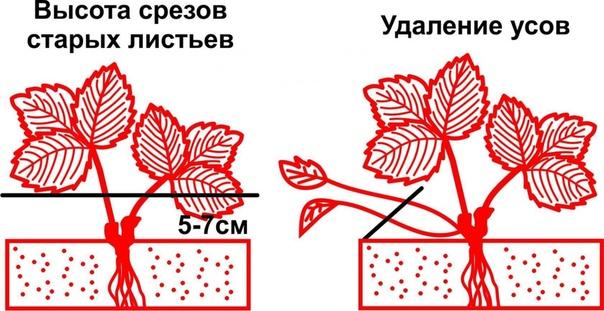 Зачем обрезать клубнику после плодоношения