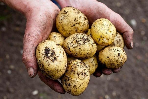 Мой секрет, как я в этот год получила высокий урожай картофеля.
