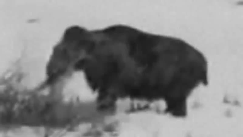 Типа Живой мамонт в Сибири. Якутск (1943г.)