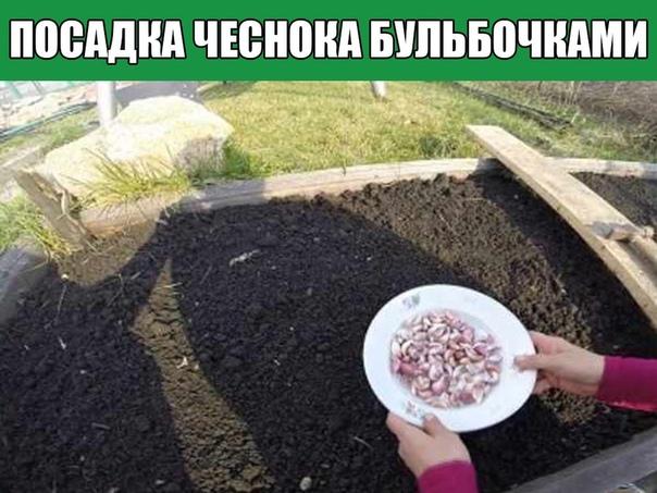 Многие садоводы привыкли сажать чеснок зубками и другого способа и не представляют