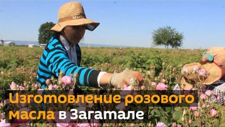 Розовая долина в Загатале как из лепестков роз делают масло