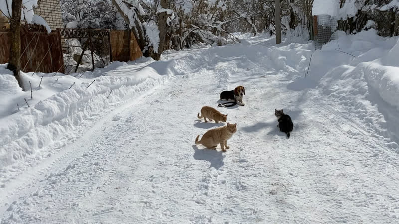 Бигль 9 месяцев Ричи Команда лежать с котами Железная выдержка