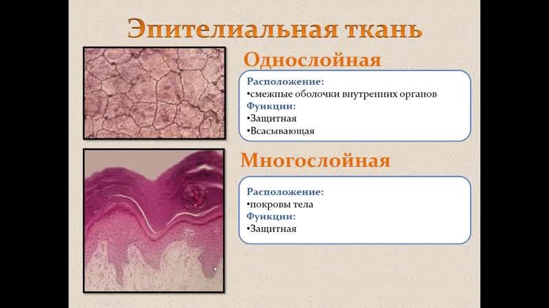 Биология Раздел анатомия человека Ткани Людмила Ивановна Profi