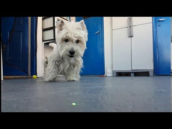 Westies Puppies in slow motion belly dance Music Westie dog