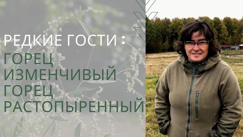 Редкие гости горец изменчивый и горец растопыренный Наталья Самойленко
