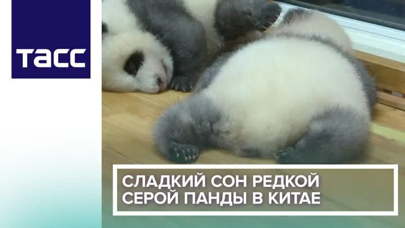 Сладкий сон редкой серой панды в Китае
