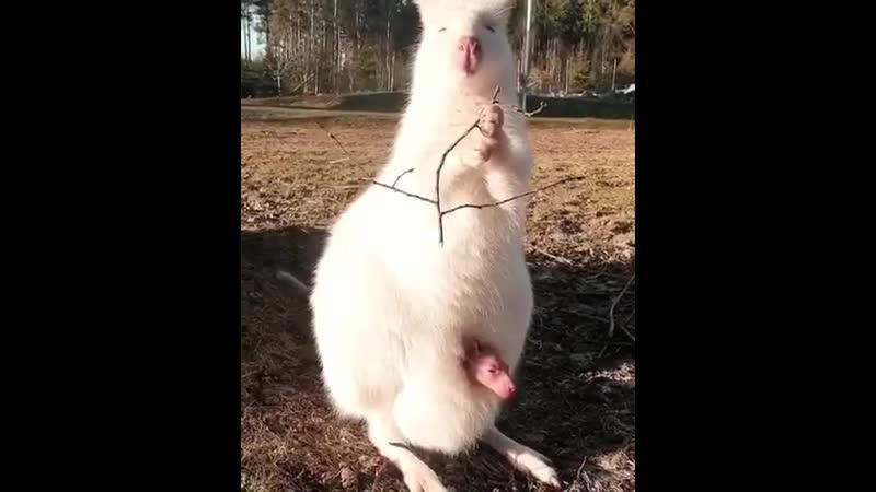 Пикаб! Луна, альбинос Wallaby рожает Швеция.