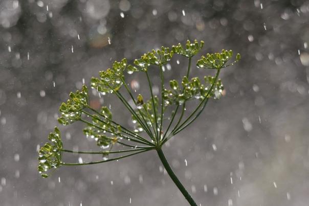 УКРОПНАЯ ВОДА: ПОЛЬЗА И ПРОТИВОПОКАЗАНИЯ Укроп (фенхель) травянистое растение, чаще всего, использующееся в качестве приправы. Но приготовленная на его основе укропная вода является источником