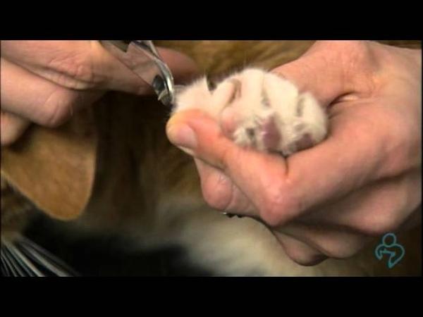 Как без страха подстричь когти кошке How to trim your cat's nails without fear