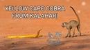 Venomous yellow Cape cobra in the Kalahari desert, cobra vs meerkats